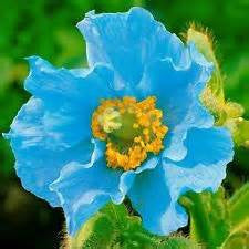 Blue Beauty Poppy