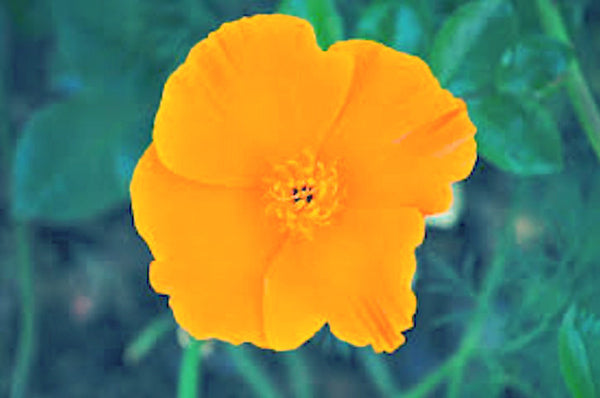100 ORANGE CALIFORNIA POPPY seeds