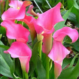 Bright Pink Calla Lily seeds Approx.50