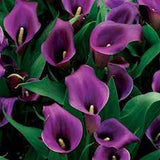 Calla Lily seeds -Purple