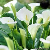 Calla Lily seeds- White