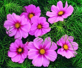 Dwarf Rose Cosmos seeds