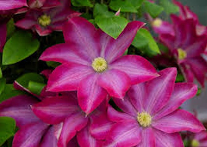 50 Climbing Clematis seeds - Hot Pink