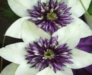 50 Climbing Clematis seeds - White and Purple