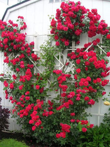 Blaze red climbing rose seeds -Approx 10