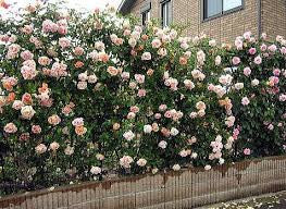 "Climbing Rose seeds ""BLUSH"" Approx 12"