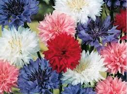 Cornflower / Bachelor Button Seeds - Dwarf Mix