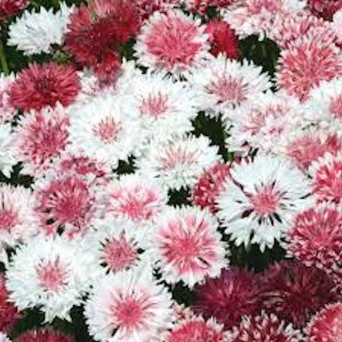 Cornflower Pink and White mix