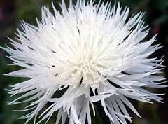 Cornflower Tall White seeds