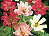 Seashell Cosmos Mix seeds