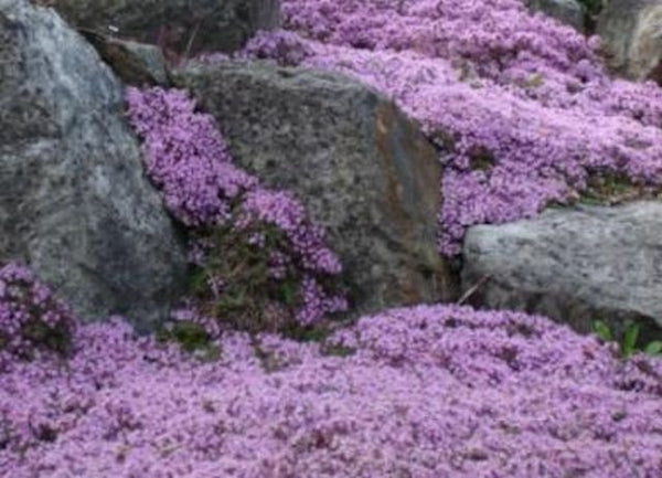 Creeping Thyme seeds