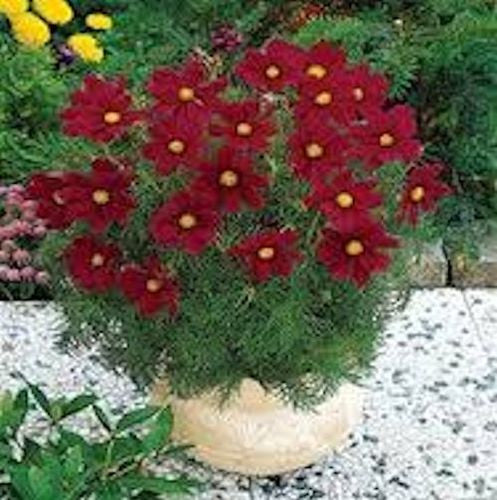 Tetra Red Cosmos Seeds