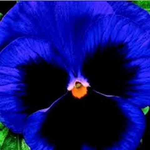 Dark Blue Hardy Pansy seeds -Approx 20