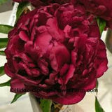 Dark Red Peony seeds- Approx 5