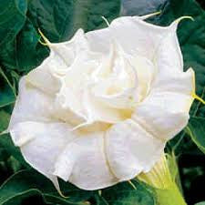 Double Datura Blanc seeds