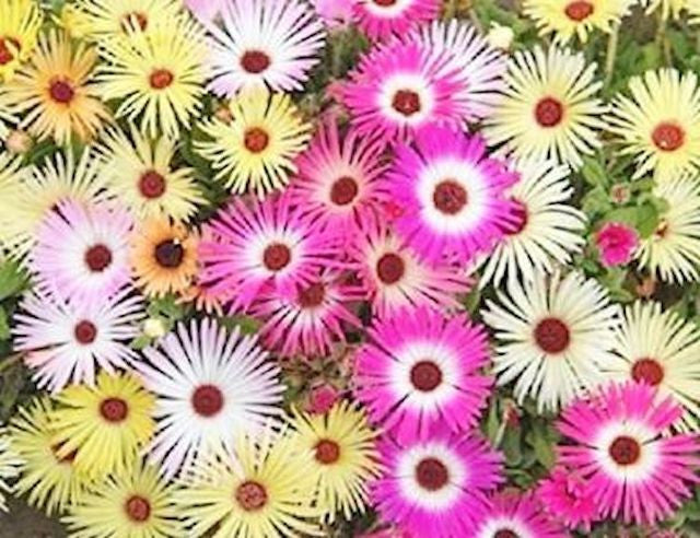 Daisy Ice Mix seeds