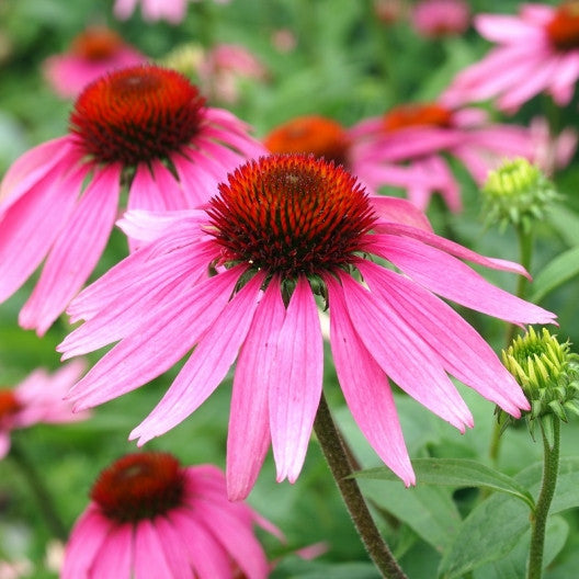 Purple Coneflower Seeds (Echinacea)
