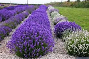 English Lavender seeds