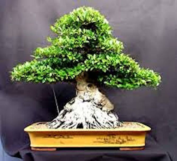 Micro Ficus Bonsai-seeds-10