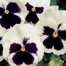 Swiss GIANT Silverbride pansy seeds- Approx 100