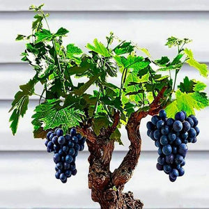 Big Sale!Miniature Grape Vine Seeds, PATIO SYRAH, Vitis Vinifera, Houseplant, Seeds, Fruit bonsai