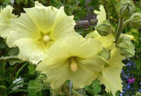 Hollyhock Seeds- 8 Colors available!