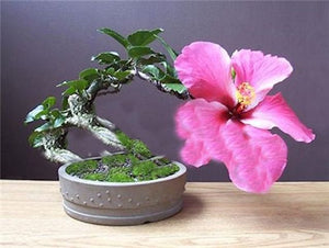 One Dozen Hibiscus Bonsai seeds
