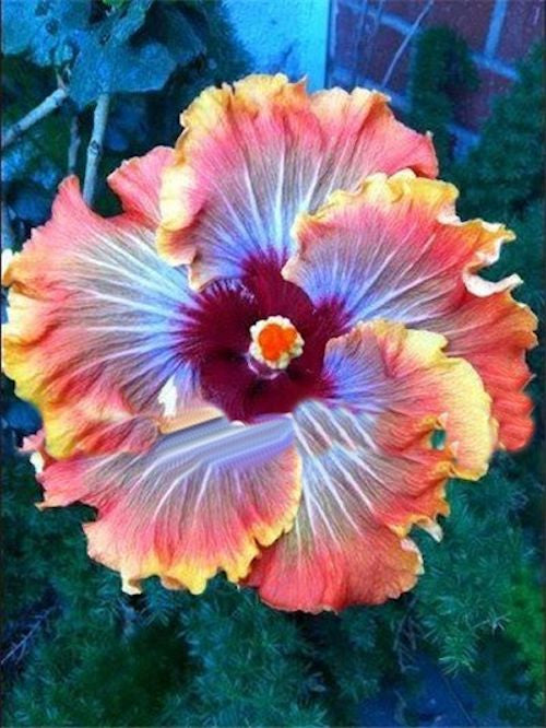 10 SUNRISE HIBISCUS seeds