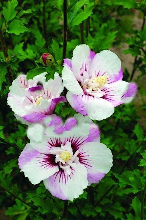 Hibiscus - White and Purple - 10 seeds