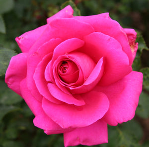 10 hot pink rose seeds