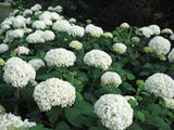 Annabelle White Hydrangea seeds ** approx. 20**
