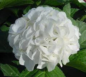Annabelle White Hydrangea seeds ** approx. 5 **