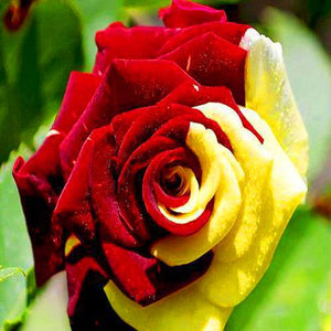 RARE ---Jaune Rouge Rose seeds -approx. 10