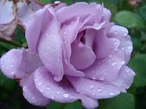 Pale Lavendar Rose - 12 seeds