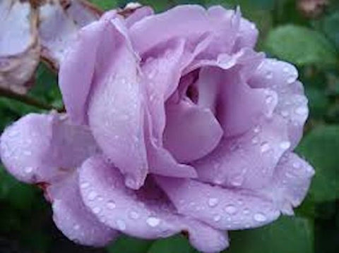 Lavender Rose - 12 seeds