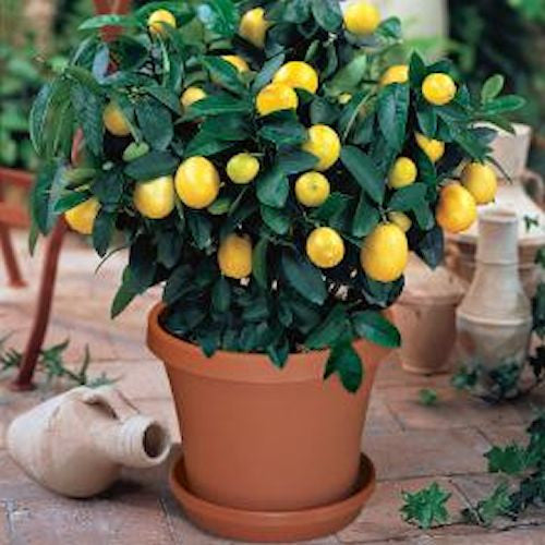 Meyer Lemon Tree Seeds