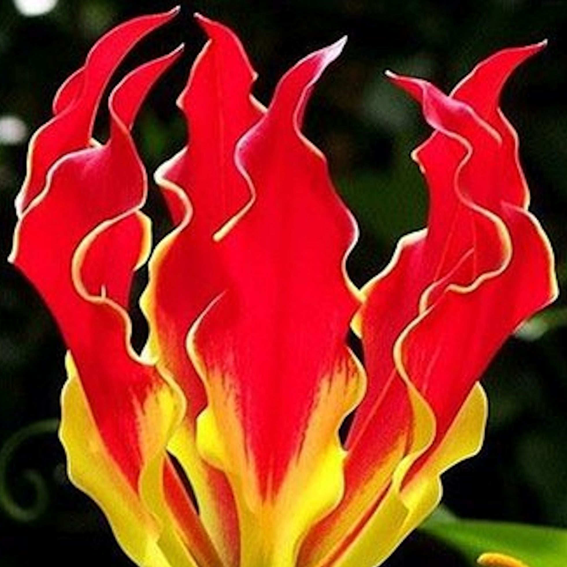 "Lily ""FIRE"" -seeds"