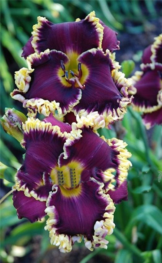 LILY-- PURPLE/YELLOW -- 10 seeds