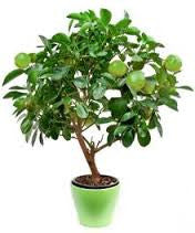Key Lime tree -5 seeds