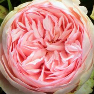 Meteor Rose seeds **approx. 20**