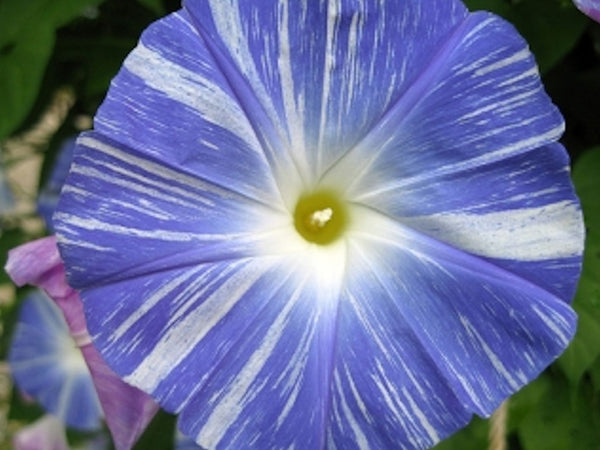 "Morning Glory- ""Flying Saucer"" -seeds"