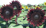 "20 ""MOULIN ROUGE"" SUNFLOWER seeds"