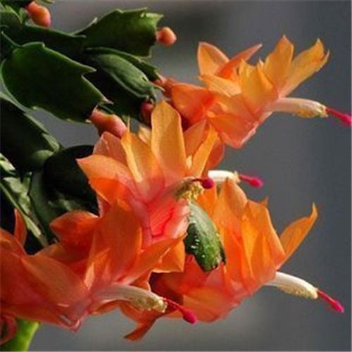 Orange flowering crab cactus- seeds