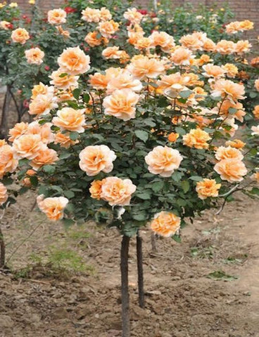 Orange Rose Tree seeds- Approx a dozen
