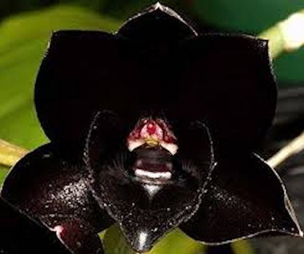 Black Butterfly Orchid -approx. 10 seeds