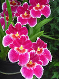 "Orchid ""Exotic Pink"" seeds"