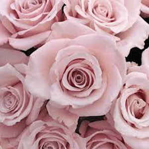 PALE PINK ROSE --seeds