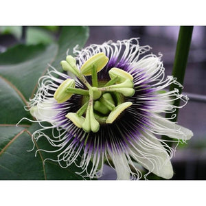 Passiflora- Black Beauty seeds