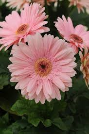 Pastel Pink Daisy seeds