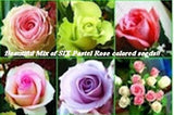 Collection of 6 pastel colored Rose seeds- 20